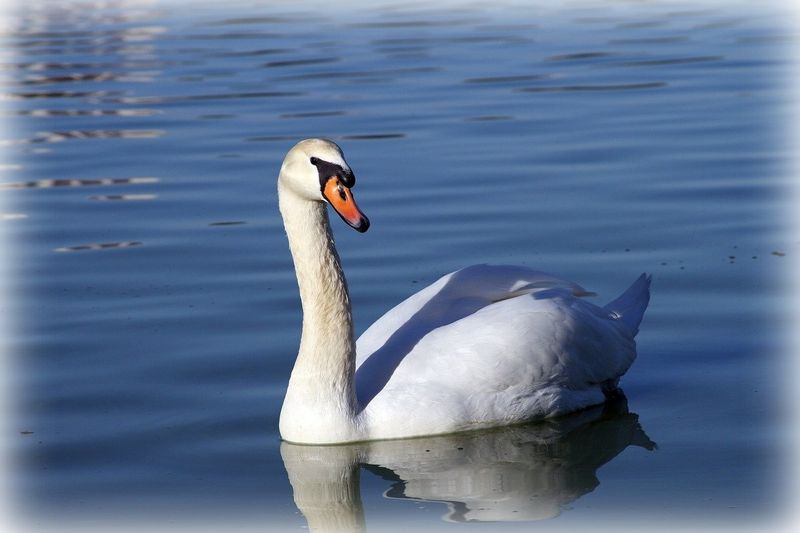 Swantwo