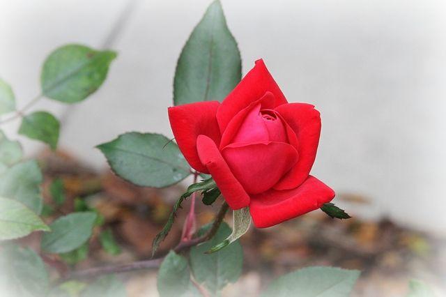 Rose for blog